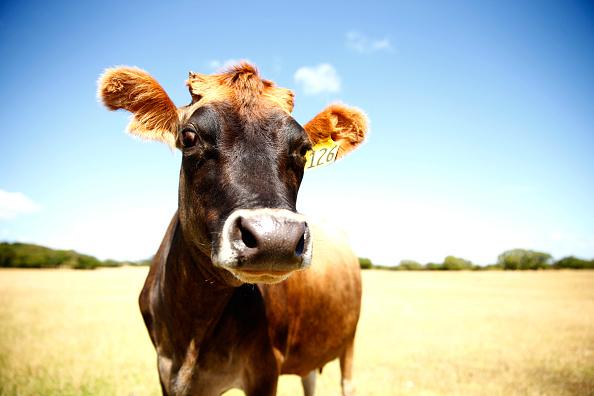 Cow「New Zealand Faces Potential Drought」:写真・画像(7)[壁紙.com]