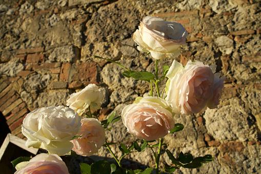 花「Rose inglesi」:スマホ壁紙(11)