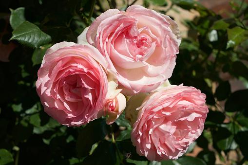 花「Rose inglesi」:スマホ壁紙(10)