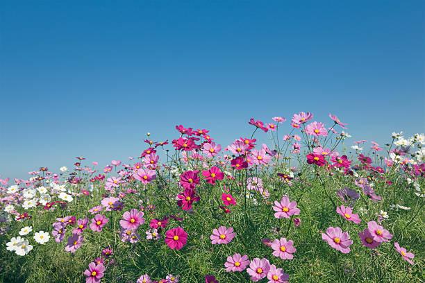 Field of cosmos under a clear blue sky, Awaji, Hyogo Prefecture, Japan:スマホ壁紙(壁紙.com)
