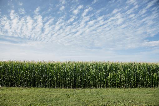 Farm「Field of corn」:スマホ壁紙(12)