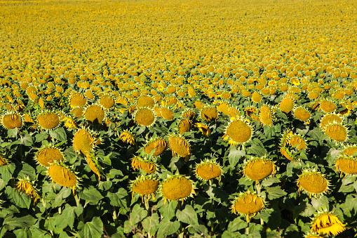 Camino De Santiago「Field of Common Sunflowers (Helianthus annus), Camino de Santiago, Burgos, Spain」:スマホ壁紙(14)