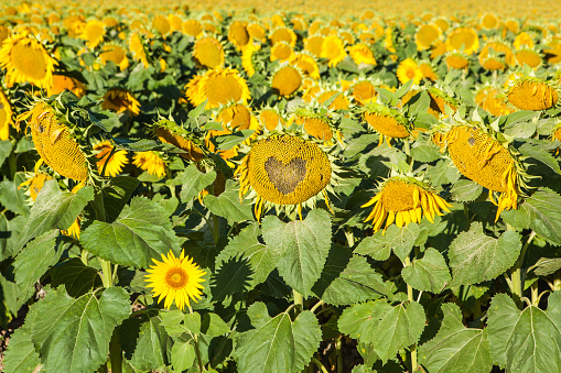 Heart「Field of Common Sunflowers (Helianthus annus), Camino de Santiago, Burgos, Spain」:スマホ壁紙(5)