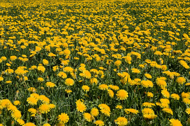 Field of Common Dandelions, (Taraxacum officinale):スマホ壁紙(壁紙.com)