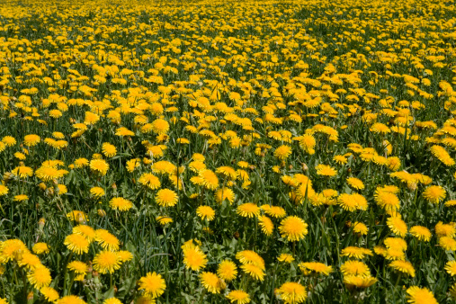 Abundance「Field of Common Dandelions, (Taraxacum officinale)」:スマホ壁紙(11)