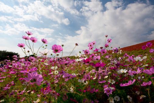 コスモス「Field of Cosmos Flowers」:スマホ壁紙(6)