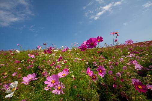 コスモス「Field of Cosmos Flowers」:スマホ壁紙(4)