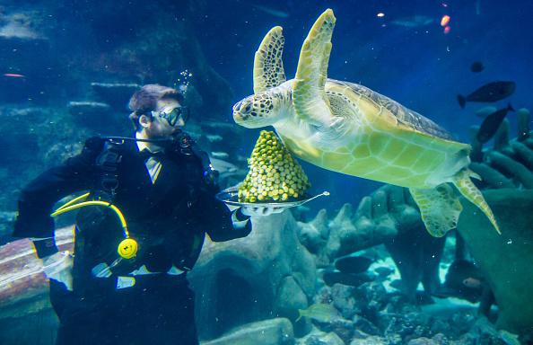 Green Turtle「The Sea Life London Aquarium Sea Turtles Are Served A Christmas Treat」:写真・画像(2)[壁紙.com]