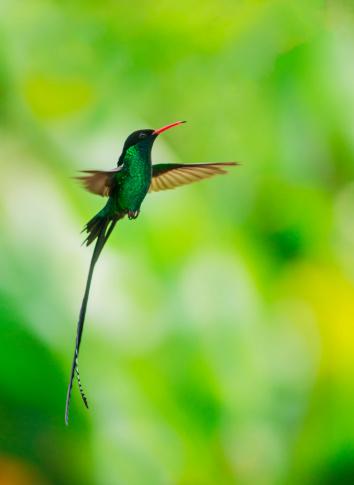 Flapping Wings「Jamaica, Hummingbird in flight」:スマホ壁紙(6)