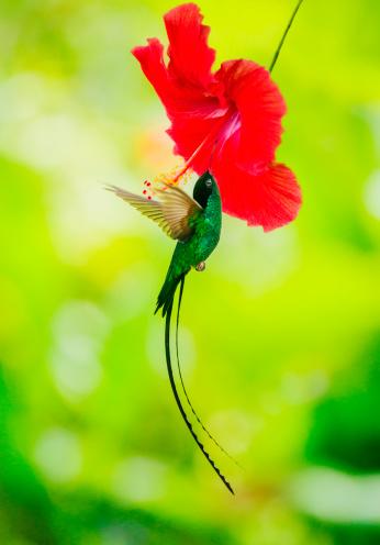 Flapping Wings「Jamaica, Hummingbird feeding with flower nectar」:スマホ壁紙(5)