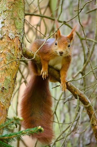 リス「European squirrel」:スマホ壁紙(13)