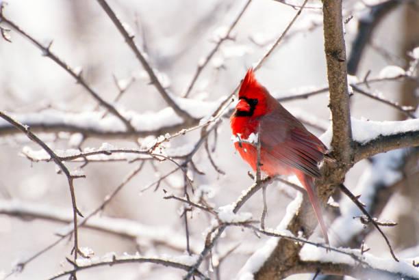 Male Cardinal in Snow:スマホ壁紙(壁紙.com)