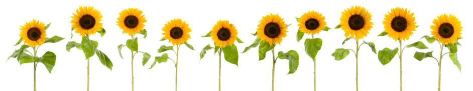 Continuity「Row of wet sunflowers (XXXLarge)」:スマホ壁紙(14)