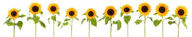 Row of wet sunflowers (XXXLarge):スマホ壁紙(壁紙.com)
