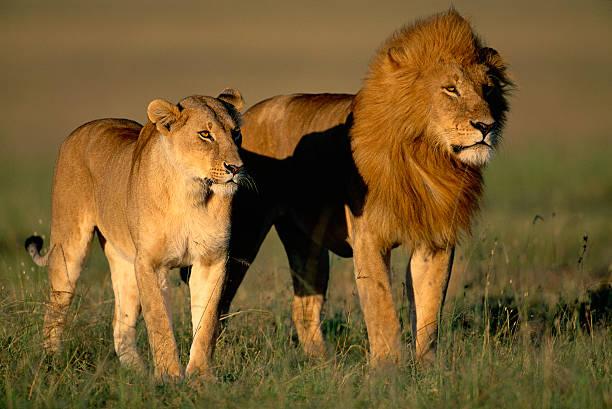 Male and Female Lion:スマホ壁紙(壁紙.com)