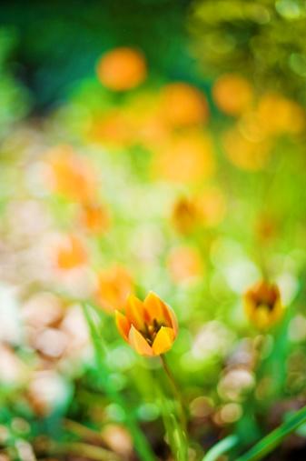 チューリップ「チューリップの花のベッド」:スマホ壁紙(0)