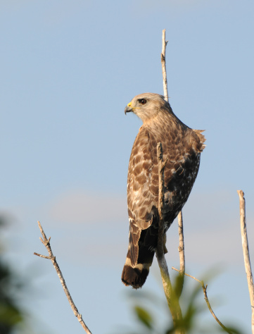 Hawk - Bird「Red-shouldered hawk, Buteo lineatus, with wind ruffling feathers. Everglades National Park, Florida, USA. UNESCO World Heritage Site (Biosphere Reserve)」:スマホ壁紙(17)