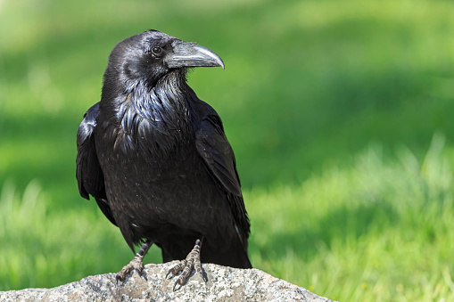 Crouching「USA, Wyoming, Yellowstone Nationalpark, portrait of raven」:スマホ壁紙(13)