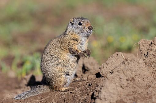 Crouching「USA, Wyoming, Yellowstone Nationalpark, Uinta ground squirrel」:スマホ壁紙(17)