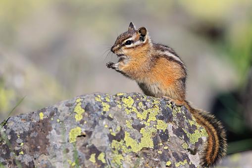 リス「USA, Wyoming, Yellowstone Nationalpark, eating chipmunk」:スマホ壁紙(19)
