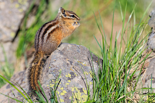 リス「USA, Wyoming, Yellowstone Nationalpark, eating chipmunk」:スマホ壁紙(18)