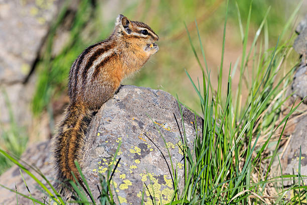 USA, Wyoming, Yellowstone Nationalpark, eating chipmunk:スマホ壁紙(壁紙.com)