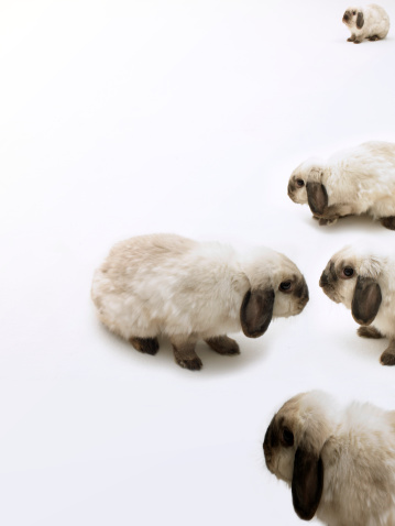 Animal Ear「Group of lop-eared rabbits against white background, one facing others」:スマホ壁紙(19)