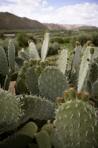 Atlas Mountains「Large number of cacti at pass road between Ouarzazate and Marrakesh in High Atlas mountains」:スマホ壁紙(0)