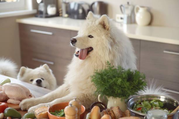 samoyed dog in the kitchen:スマホ壁紙(壁紙.com)
