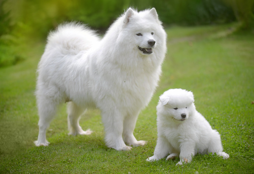 Females「Samoyed dog on the lawn with her puppies」:スマホ壁紙(16)