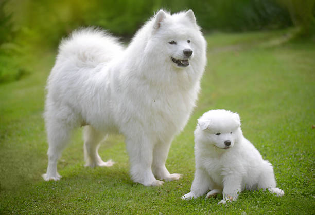 Samoyed dog on the lawn with her puppies:スマホ壁紙(壁紙.com)