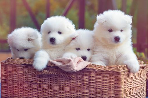 Playing「Samoyed dog puppies」:スマホ壁紙(12)