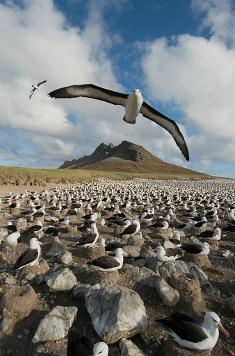 Falkland Islands「Black-browed Albatross soars over colony, Falkland Islands」:スマホ壁紙(14)