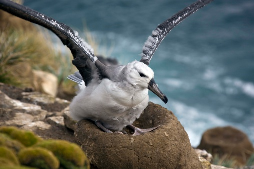 Falkland Islands「Black-browed albatross fledgling in nest」:スマホ壁紙(19)