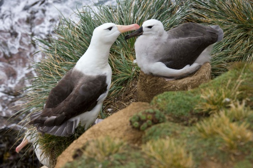 Falkland Islands「Black-browed albatrosses」:スマホ壁紙(18)