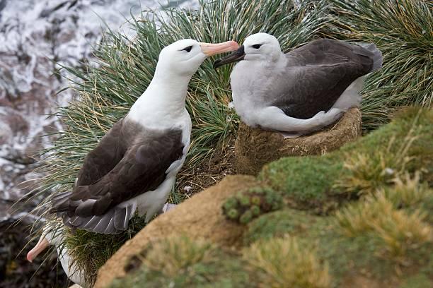 Black-browed albatrosses:スマホ壁紙(壁紙.com)