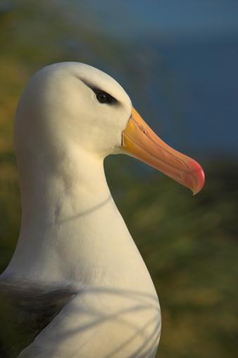 Falkland Islands「Black-browed Albatross (Diomedea melanophris), close-up」:スマホ壁紙(10)