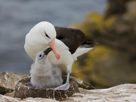 Falkland Islands「Black-browed Albatross (Thalassarche melanophrys) on nest with chick, Falkland Islands」:スマホ壁紙(7)