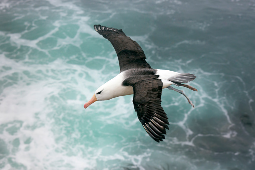 Falkland Islands「Black-browed Albatross Above the Sea on the Falkland Islands」:スマホ壁紙(8)