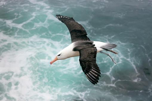 Falkland Islands「Black-browed Albatross Above the Sea on the Falkland Islands」:スマホ壁紙(6)
