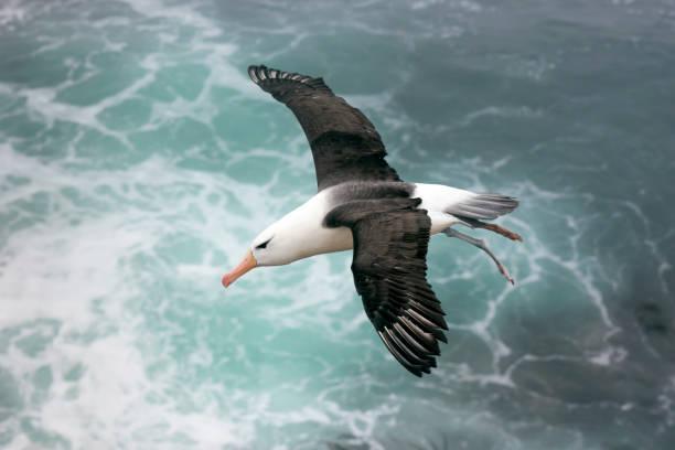 Black-browed Albatross Above the Sea on the Falkland Islands:スマホ壁紙(壁紙.com)