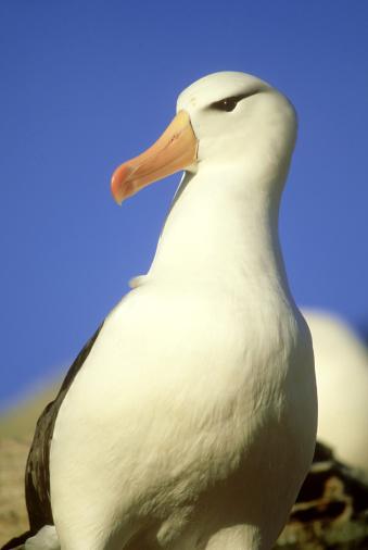 Falkland Islands「black-browed albatross: diomedea melanophris  jason island. the falklands」:スマホ壁紙(16)