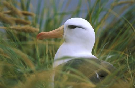 Falkland Islands「black-browed albatross diomedea melanophris jason island, the falklands」:スマホ壁紙(17)