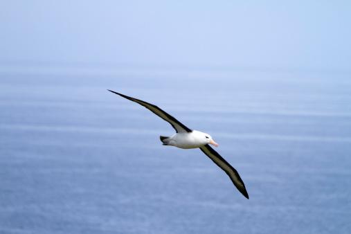 Falkland Islands「Black-browed Albatross 」:スマホ壁紙(2)