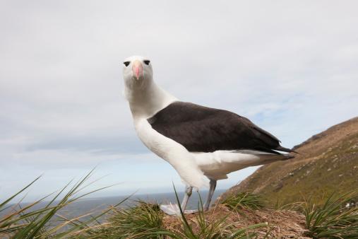 Albatross「Black-Browed Albatross (Thalassarche melanorphris)」:スマホ壁紙(7)