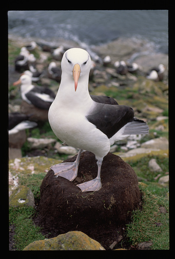 Falkland Islands「Black-Browed Albatross」:スマホ壁紙(9)