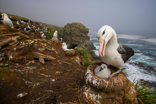 Falkland Islands「black-browed albatross (Thalassarche melanophris)」:スマホ壁紙(13)