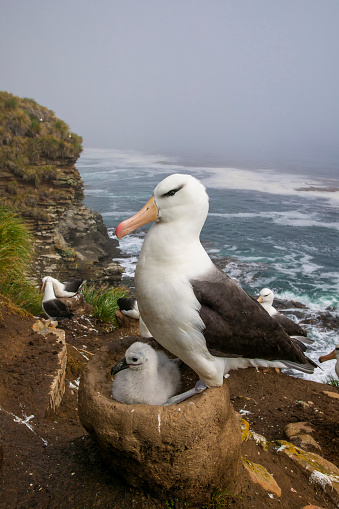 Falkland Islands「black-browed albatross (Thalassarche melanophris)」:スマホ壁紙(12)