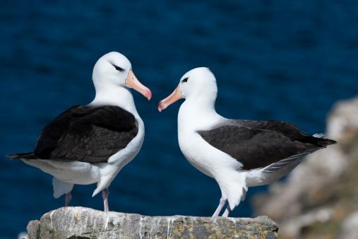 Falkland Islands「Black-browed Albatross」:スマホ壁紙(14)