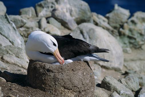 Falkland Islands「Black-Browed Albatross Brooding」:スマホ壁紙(10)